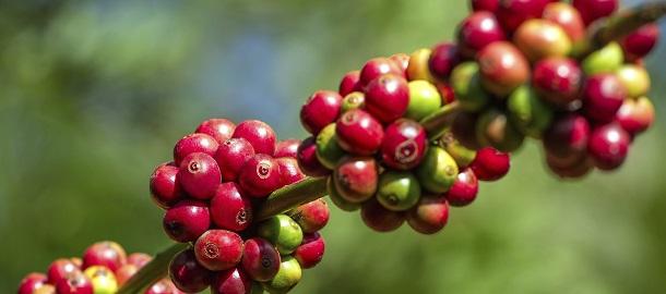 Kaffeefrucht