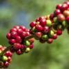 Grüner Kaffeebohnenextrakt: Wie gesund ist das Trendpulver aus den USA?